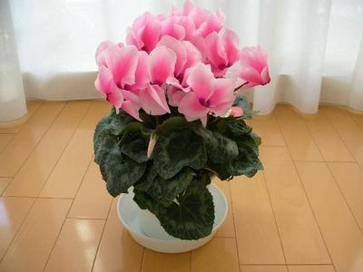 (名無し)さん[3]が投稿した鉢植え シクラメンの写真