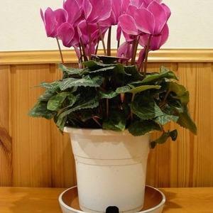 鉢植え シクラメン