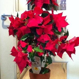 鉢植え ポインセチア