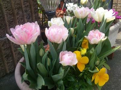 Tulip Cheerful Mix チューリップ球根 50球