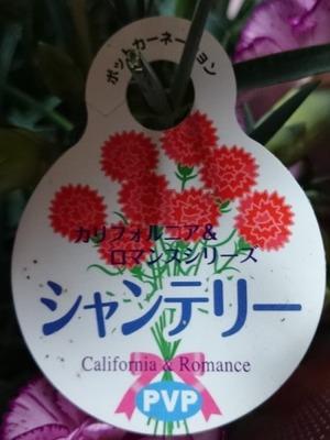 なおさん[7]が投稿した鉢植え カーネーションの写真