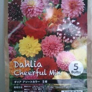 Dahlia Cheerful Mix ダリア アソートカラー球根